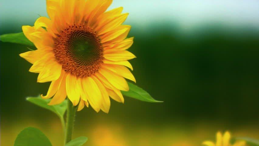 Manfaat Bunga Matahari Bagi Kesehatan, dari Bijinya Hingga Minyaknya